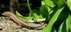 250pxtakydromus_tachydromoides1
